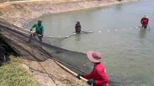 Seining shrimp from a pond in Thailand.